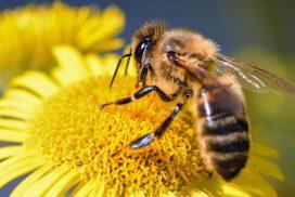 5 types d'abeille à connaitre
